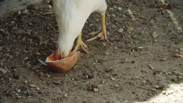 a young chicken pecks at and eats half of a sweet potato in a chicken coop outdoors on a sunny day - tapping stock videos & royalty-free footage