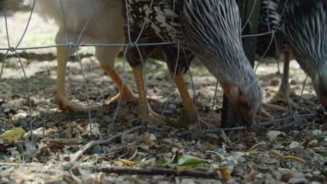 vídeos de stock e filmes b-roll de young chickens poke their heads through a wire fence peck food from the ground outdoors on a sunny day - galinheiro