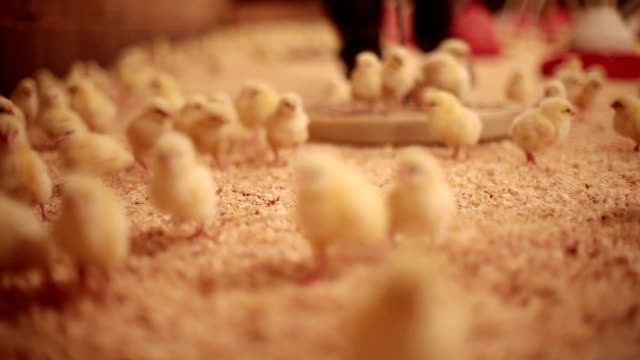 Young Chicks...