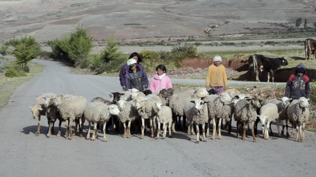 MS Young children's herder with group of sheeps walking on road / Cuzco or Cusco, Peru