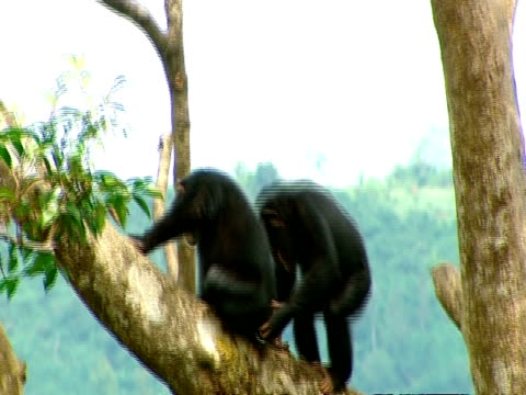 MS young chimp climbing up branch to 2nd chimp, screaming and hitting each other before retreating