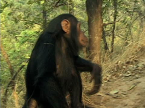 vídeos y material grabado en eventos de stock de ms, young chimp (pan troglodytes) climbing up hill in forest, gombe stream national park, tanzania - parque nacional de gombe stream