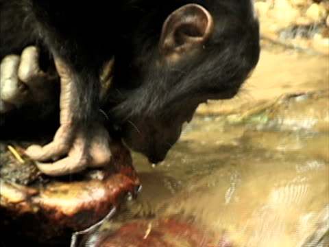CU, Young chimp (Pan troglodytes) drinking from stream in forest, Gombe Stream National Park, Tanzania