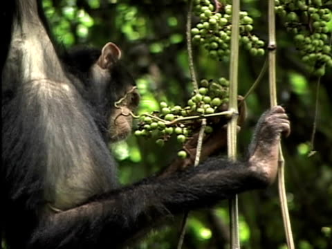 CU, Young chimp (Pan troglodytes) hanging from vines and eating grapes, Gombe Stream National Park, Tanzania