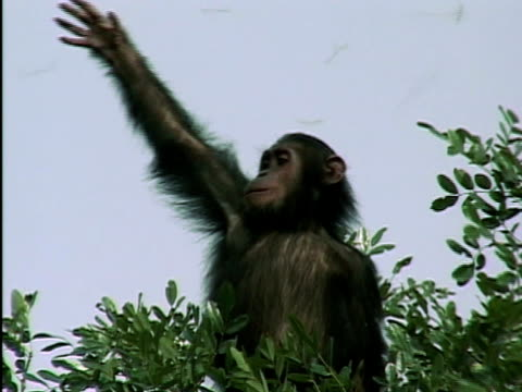 MS, LA, Young chimp (Pan troglodytes) on tree top catching flying termites, Gombe Stream National Park, Tanzania