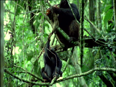 young chimp tries his luck at getting colobus meat from an adult, and gets a smack on the head for it, uganda - common chimpanzee stock videos & royalty-free footage