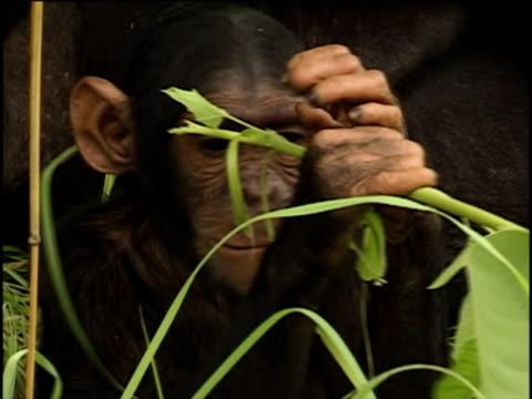 vidéos et rushes de cu, young chimpanzee (pan troglodytes) chewing leafy vine, gombe stream national park, tanzania - chimpanzé