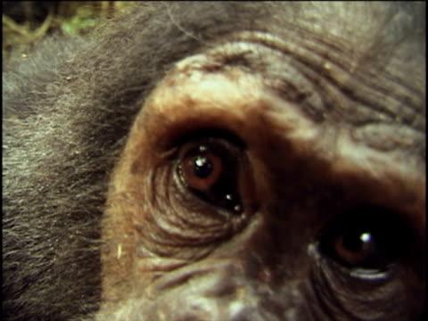 CU, Young chimpanzee (Pan troglodytes) climbing down tree trunk and peering into camera, Gombe Stream National Park, Tanzania