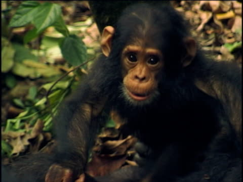 vídeos y material grabado en eventos de stock de cu, ha, young chimpanzee (pan troglodytes) climbing on adult, gombe stream national park, tanzania - chimpancé común