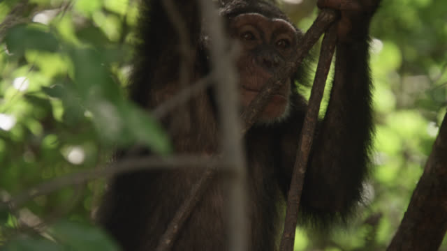 young chimpanzee (pan troglodytes) climbs in forest, senegal - common chimpanzee stock videos & royalty-free footage