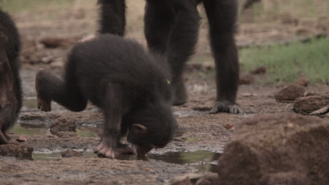 young chimpanzee (pan troglodytes) drinks from pool in forest clearing, senegal - chimpanzee stock videos & royalty-free footage