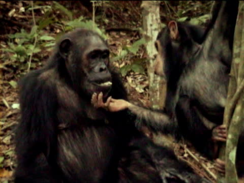 MS, PAN, Young chimpanzee (Pan troglodytes) eating others wadge, Gombe Stream National Park, Tanzania