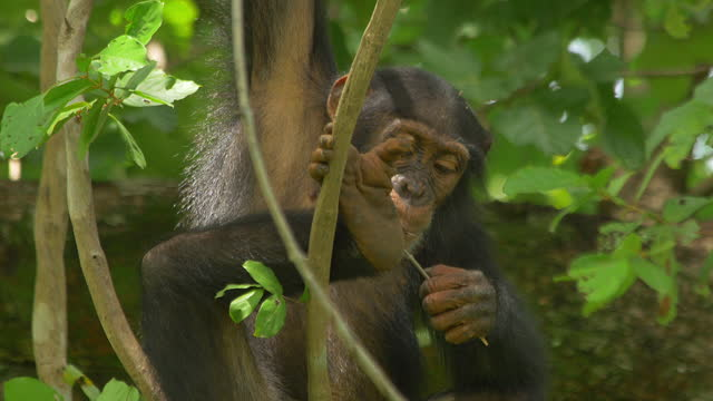 cu young chimpanzee hanging on vine and chewing a twig - twig stock videos & royalty-free footage