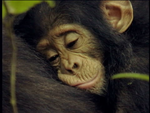 CU, Young chimpanzee (Pan troglodytes) leaning on mother, Gombe Stream National Park, Tanzania