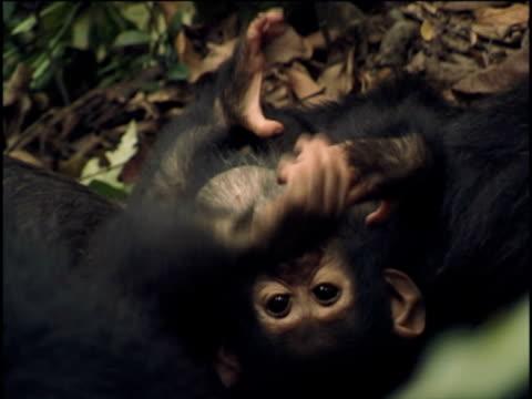 vídeos y material grabado en eventos de stock de cu, ha, young chimpanzee (pan troglodytes) playing with adult, gombe stream national park, tanzania - chimpancé común