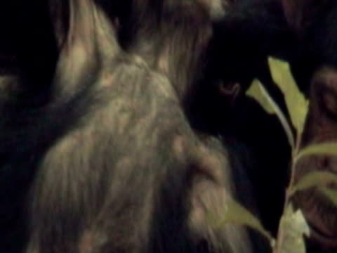 vídeos y material grabado en eventos de stock de cu, young chimpanzee (pan troglodytes) playing with adult, gombe stream national park, tanzania - parque nacional de gombe stream