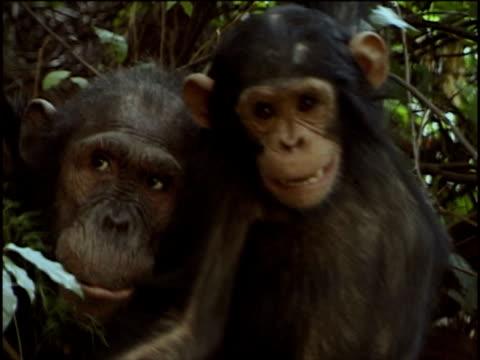 vídeos y material grabado en eventos de stock de cu, ms, young chimpanzee (pan troglodytes) playing with adult in forest, gombe stream national park, tanzania - parque nacional de gombe stream