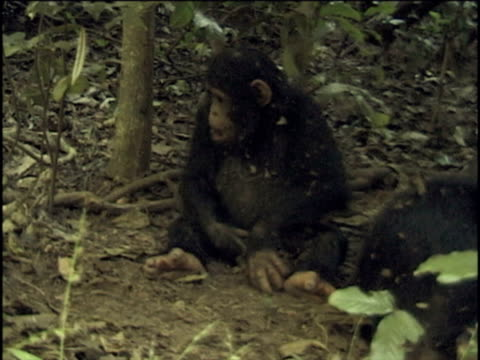 MS, Young chimpanzee (Pan troglodytes) playing with rock in forest, Gombe Stream National Park, Tanzania