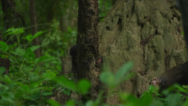 ms young chimpanzee sitting in tree and chewing a twig - twig stock videos & royalty-free footage