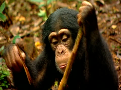 CU Young chimpanzee sitting on forest floor, peeling and breaking off stick, chewing it