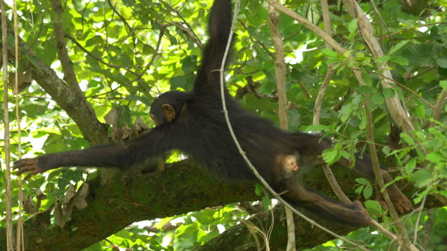 la ms young chimpanzee swinging on vines - branch stock videos & royalty-free footage