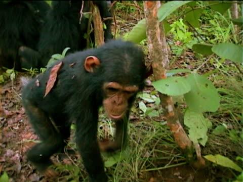 vídeos y material grabado en eventos de stock de cu, young chimpanzee (pan troglodytes) walking in forest, gombe stream national park, tanzania - parque nacional de gombe stream