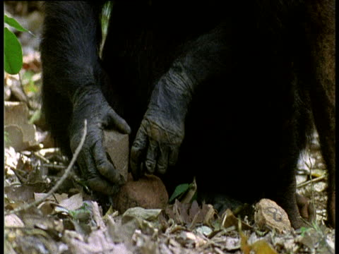 Young Chimpanzee watches adult cracking nuts with stone
