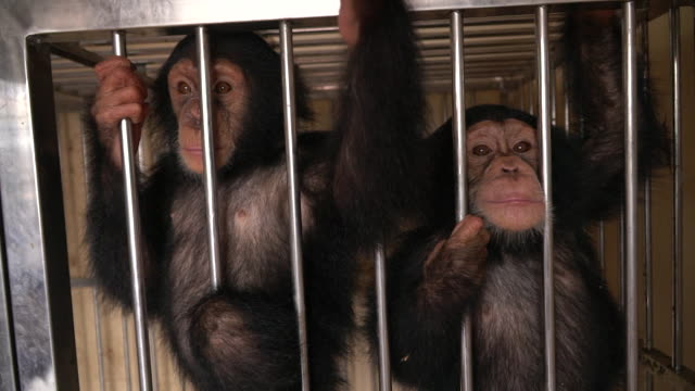 vidéos et rushes de young chimpanzees in a cage in nepal after they were intercepted from a smuggling ring by nepalese authorities - chimpanzé