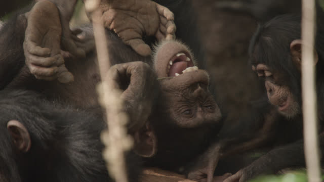 young chimpanzees (pan troglodytes) play and tussle on termite mound, senegal - chimpanzee stock videos & royalty-free footage