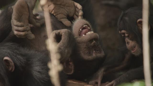 vidéos et rushes de young chimpanzees (pan troglodytes) play and tussle on termite mound, senegal - chimpanzé