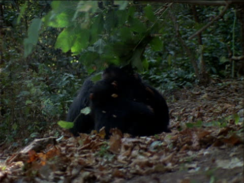 vidéos et rushes de ms, young chimpanzees playing in forest, gombe national park, tanzania  - chimpanzé