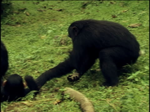 ms, pan, young chimpanzees (pan troglodytes) playing  tug-o-war, gombe stream national park, tanzania - teasing stock videos & royalty-free footage