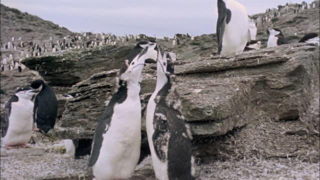 vidéos et rushes de ms, young chinstrap penguin, signy island, south orkneys - groupe moyen d'animaux