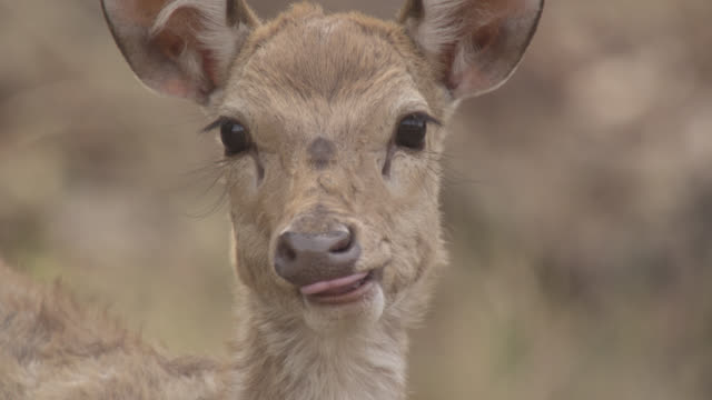 stockvideo's en b-roll-footage met young chital deer (axis axis) looks up, bandhavgarh, india - reekalf
