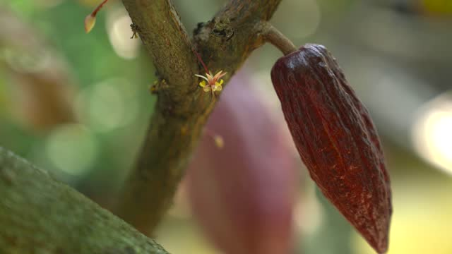 vidéos et rushes de young cocoa pod and cocoa flower - 4k resolution - chocolat chaud