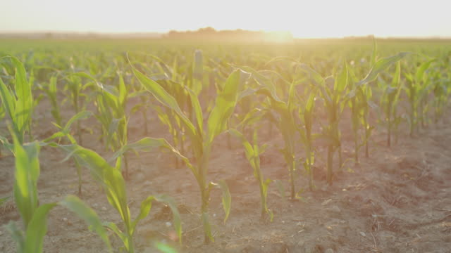 vídeos de stock, filmes e b-roll de plantas de milho novas de ds no por do sol - milho