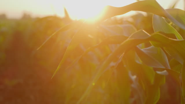 ds cu young corn plants at sunset - bright colour stock videos & royalty-free footage