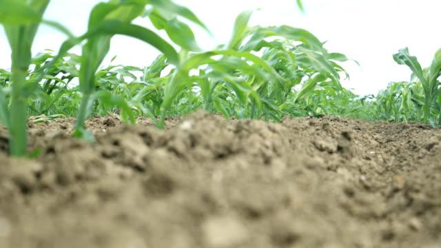 vidéos et rushes de le jeune maïs s'ensemanle - cereal plant