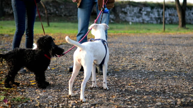 young couple autumn walk with three dogs - group of animals stock videos & royalty-free footage