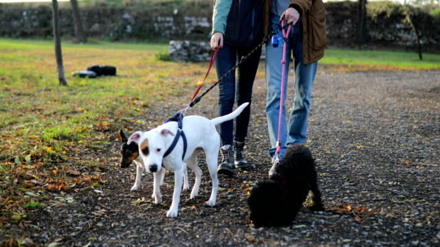 young couple autumn walk with three dogs - three animals stock videos & royalty-free footage
