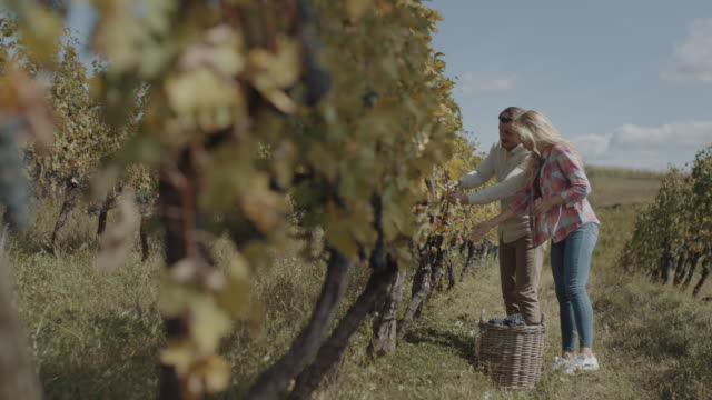 young couple harvesting fresh grapes - wine stock videos & royalty-free footage