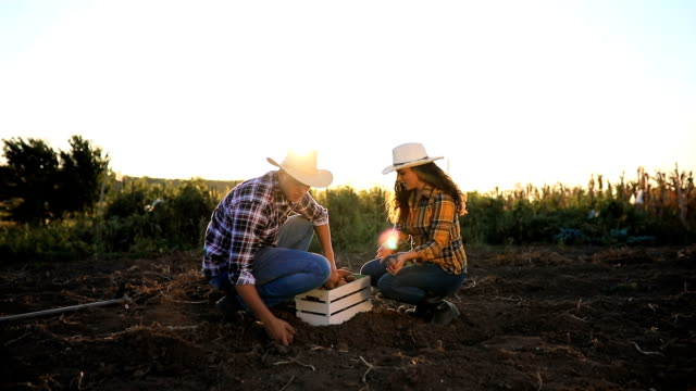 young couple harvesting potato - potato stock videos and b-roll footage