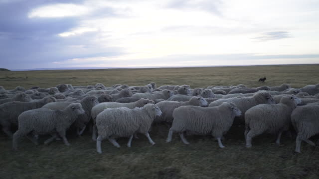 young couple of sheep farm owners walking around an moving their herd of sheeps - merino sheep stock videos & royalty-free footage
