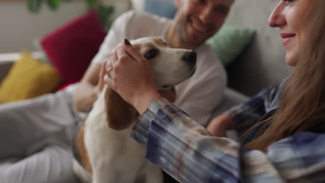 young couple sitting on sofa and stroking beagle in living room - beagle stock videos & royalty-free footage