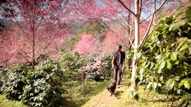 young couple walk dog forest. sakura cherry blossom trees thailand - dog walker stock videos and b-roll footage