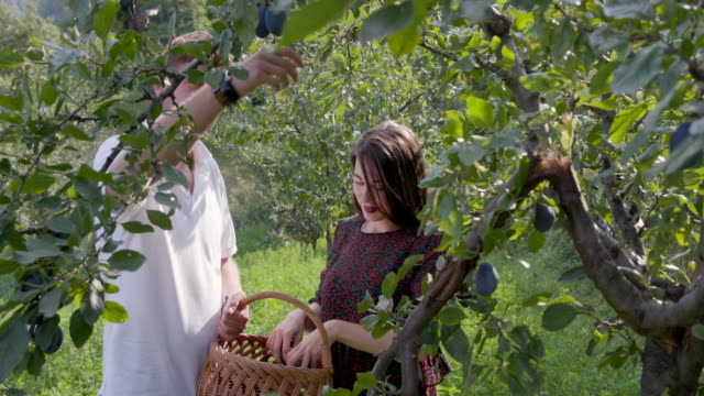 young couple with straw basket picking plums from the tree - plum stock videos & royalty-free footage
