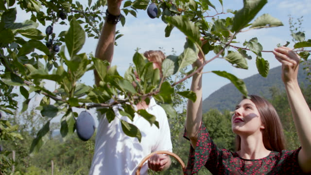 young couple with straw basket reaching plums on the tree - plum stock videos & royalty-free footage