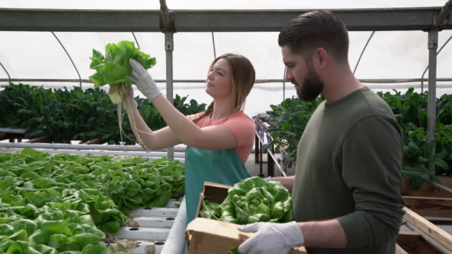 MS Young couple working together on a hydroponic farm