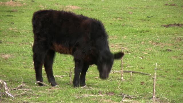 若い牛カメラ目線 - cattle点の映像素材/bロール