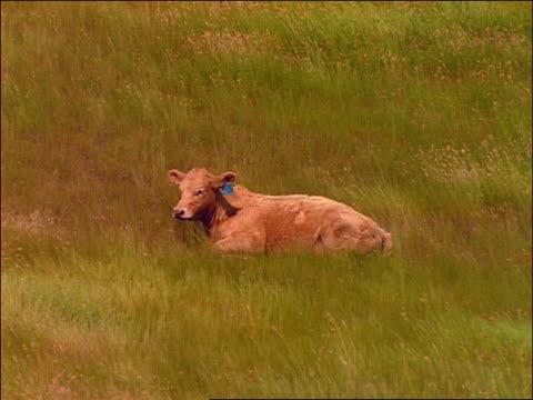 young cow wearing blue ribbon lying in green grass / saskatchewan - pflanzenfressend stock-videos und b-roll-filmmaterial
